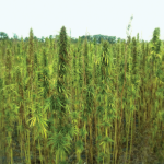 hemp_farm_2_blur
