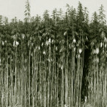 Uses of Hemp hemp_crop