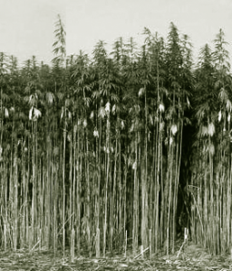 Hemp Politics hemp_crop